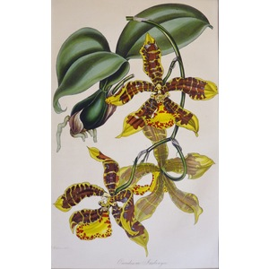 Oncidium Insleayii - Original antique lithograph with original hand-colouring  Drawn and engraved...