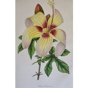 Hibiscus Cameronii - Original antique lithograph with original hand-colouring  Drawn and engraved...