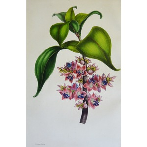 Medinilla Erythrophylla - Original antique lithograph with original hand-colouring  Drawn and eng...