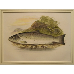 Galway sea trout
