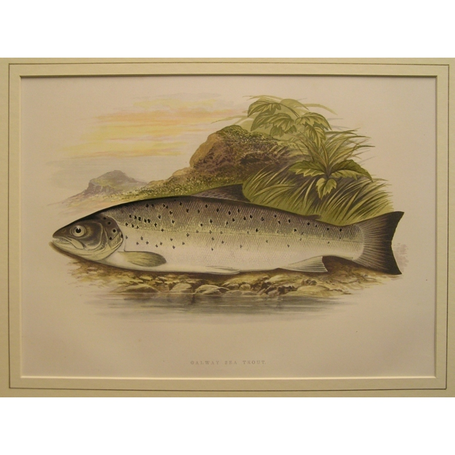 Galway sea trout | Storey's