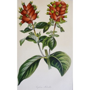 Cuphea Melvilla - Original antique lithograph with original hand-colouring  Drawn and engraved by...