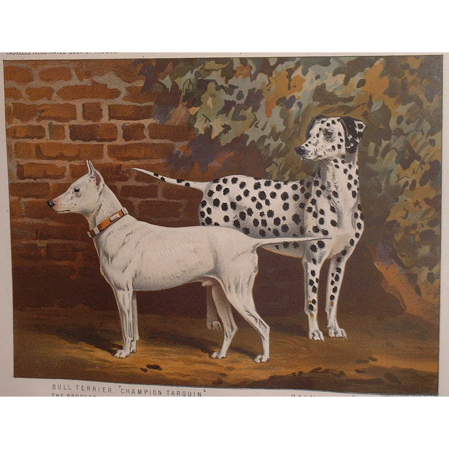 Bull terrier and dalmation   Storey's