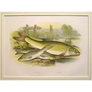 Gudgeon, barbel
