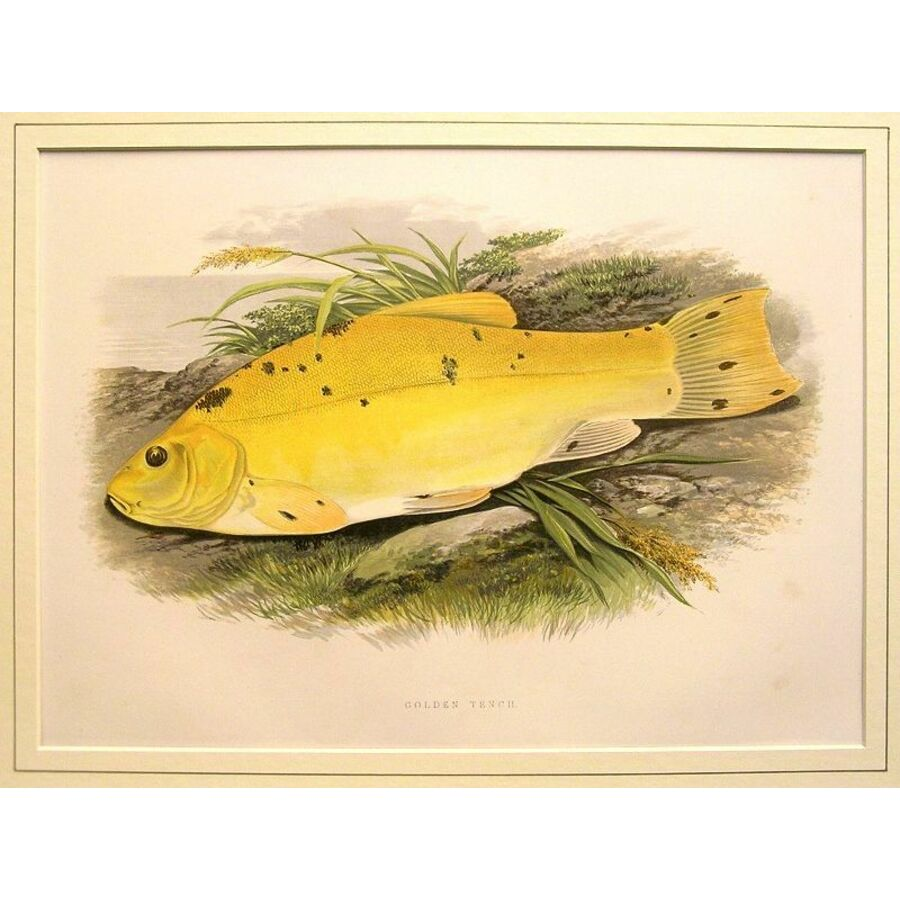 Golden tench | Storey's