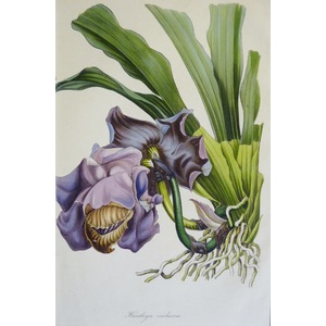 Huntleya violacea - Original antique lithograph with original hand-colouring  Drawn and engraved ...