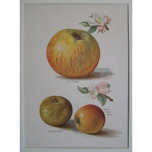 Apples - coxs orange, sykehouse russet, scarlet golden pippin
