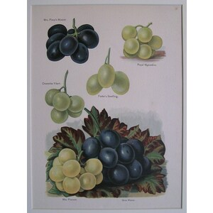 Grapes - royal muscadine, fosters seedling, etc