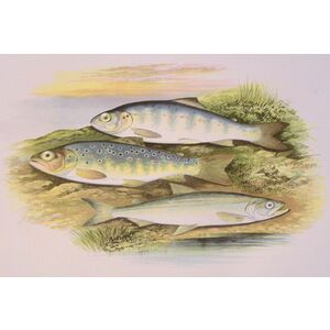 Young trout, salmon parr and smelt