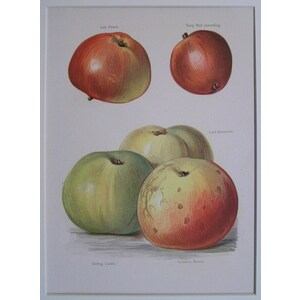 Apples - irish peach, early red joanetting, lord grosvenor, etc