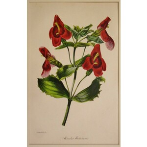 Mimulus, - Original Antique Lithograph With Original Hand-Colouring. Drawn And Engraved By S. Hol...