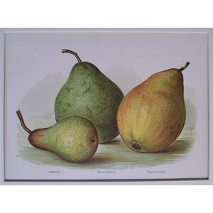 Pears - jargonelle, clapps favourite