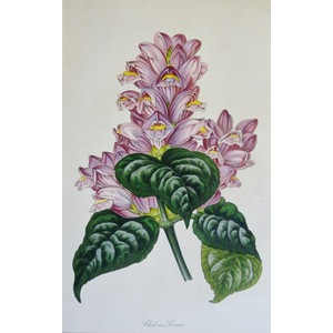 Chelone Lyonii - Original antique lithograph with original hand-colouring  Drawn and engraved by ...