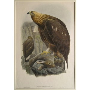 Aquila chrysaetos - golden eagle - j. Gould