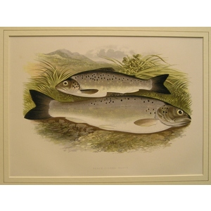 Black-finned trout