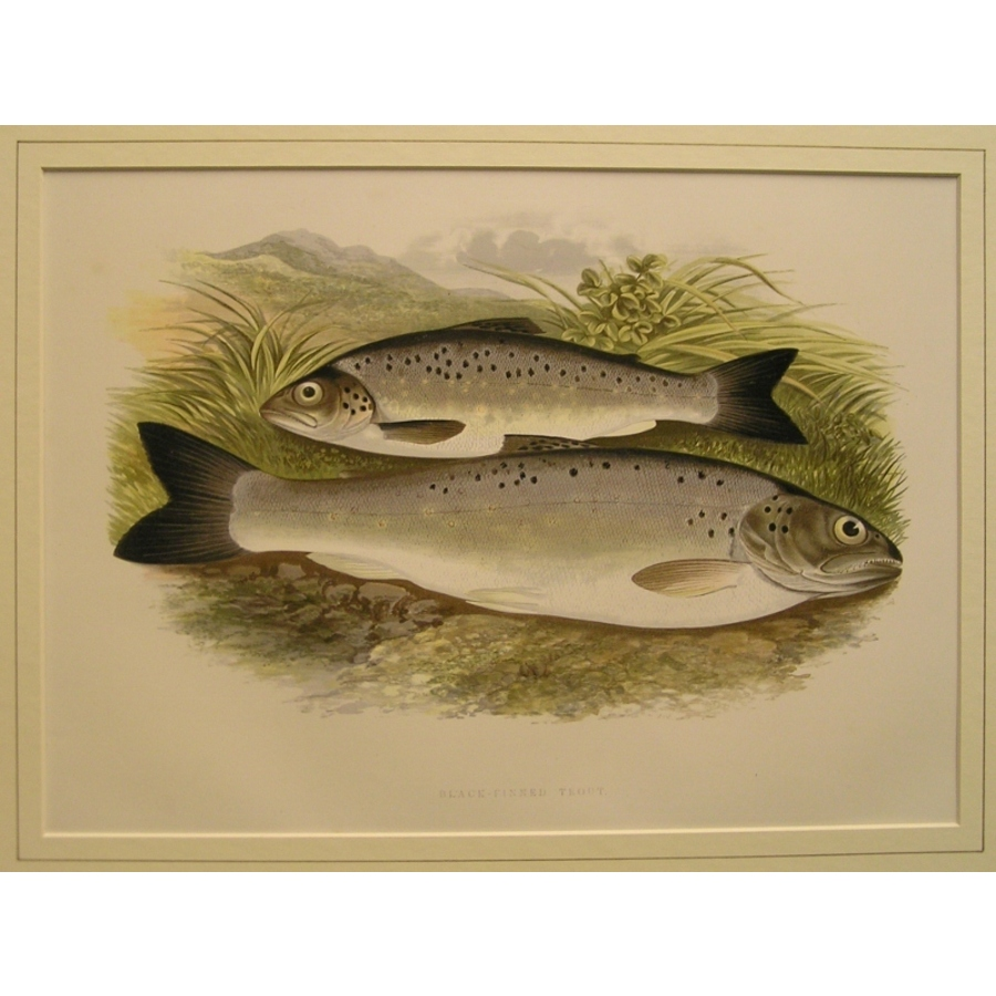 Black-finned trout | Storey's